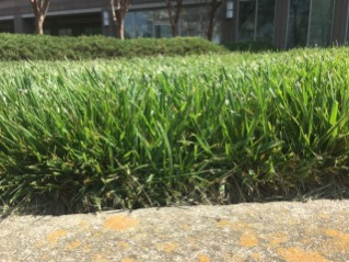 Tall-Fescue-Leaf